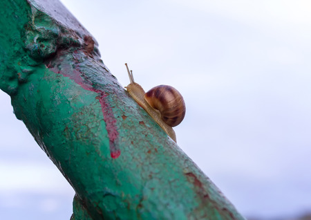 hermaphrodite: Lonely snail crawling on rusty metal handrail Stock Photo