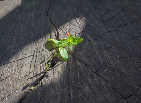 reforestation: Sprout sprouting from an old tree stump and lighting beam of the sun