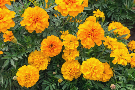 schist: Orange marigolds on the flowerbed. Gardens and flowers