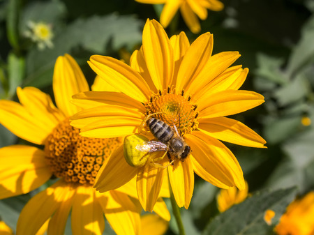 goldenrod crab spider: Spider misumena lurking on camomile attacked bee