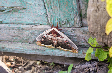 mimetism: Moth sitting on old wooden fence