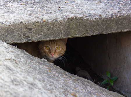 slit: Stray red cat peeking from the slit Stock Photo