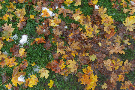 frostbitten: Fallen yellow leaves, green grass and snow. Off-season