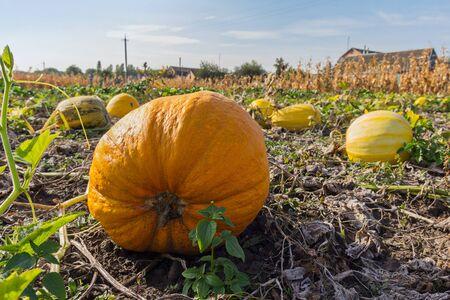 Ripe bright pumpkin growing in a farmers garden. Nature