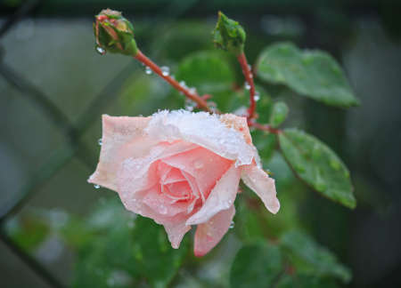 sheltered: Rose sheltered snow. Flowers and gardens