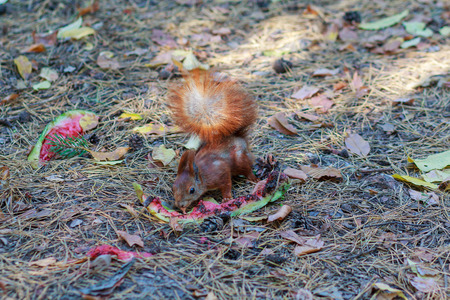 leavings: Squirrel eats a watermelon residues found in the park. Animals