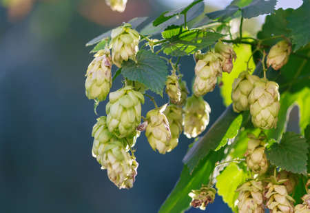 no alcohol: Flowers and leaves of hops close up. Nature Stock Photo