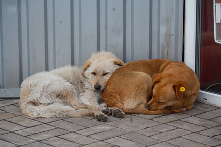 mutts: Two stray dog lying close to each other. Pets Stock Photo