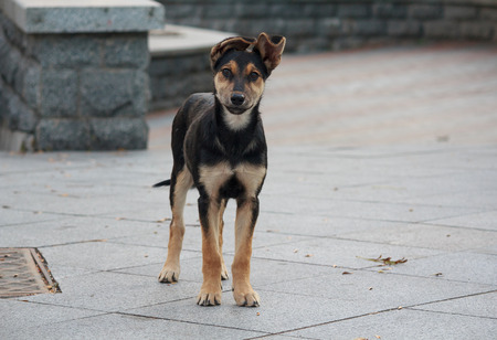 eared: Lonely homeless puppy looking with hope. Animals