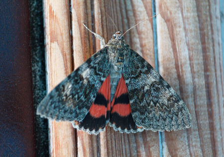 Catocala electa, rare species of butterfly. Insects
