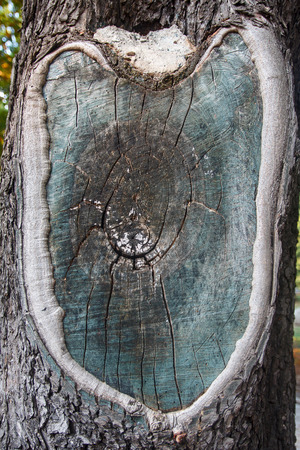 face in tree bark: Cracked surface old wood. Backgrounds and textures