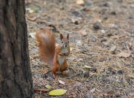 fluffy tuft: Red squirrel standing on the ground watching. Animals