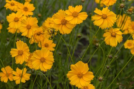 Yellow cosmos flowers in a meadow close-up. Nature