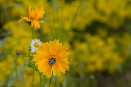 pollinate: Yellow coreopsis and pollinate his beetle. Nature