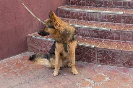 expects: Young german shepherd on a leash expects host. Pets