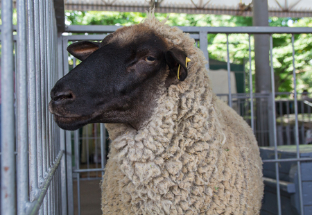 Fluffy sheep remains in the pen. Agriculture