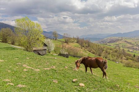 Horse grazing in the meadow on a background of mountains. Carpathians Stock Photo