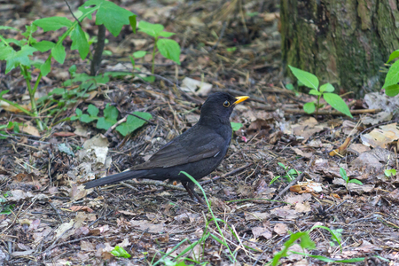 catbird: Blackbird with a yellow beak on the ground. Birds