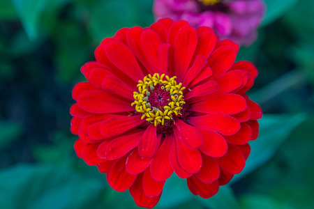 Red zinnia with yellow pistils closeup. Flowers and gardens
