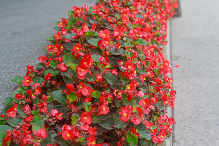 sear: Red begonias grow on urban flower bed