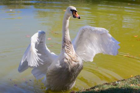 freshwater bird: Beautiful white swan spread its wings. Birds