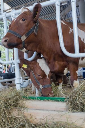 bullock animal: Brown and white cow in the barn. Agriculture