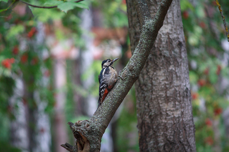 Woodpecker sitting on the tree in the forest. Birds Stock Photo