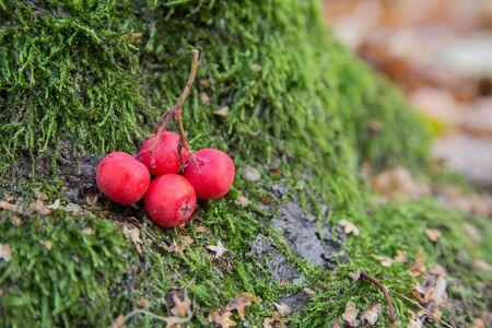 caes: Red viiburnum berries on a green moss closeup. Nature Foto de archivo