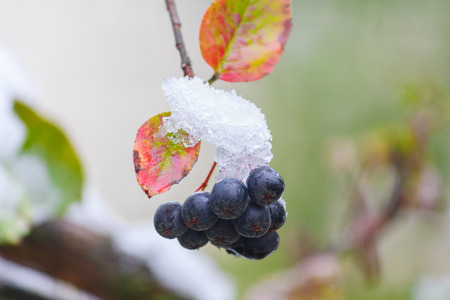 blueberry bushes: Blue berries on a branch of the covered with snow close-up. Nature
