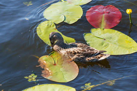 Wild duck floating in a pond among water lilies