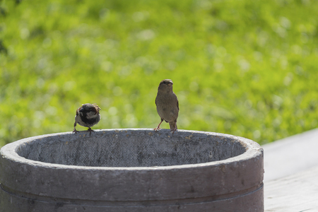 Two sparrows sitting on a garbage urn. Animals