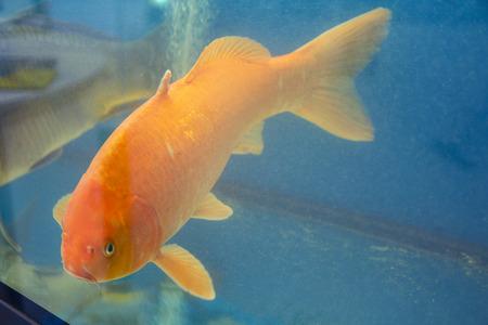 Large red trout in the aquarium. Fish
