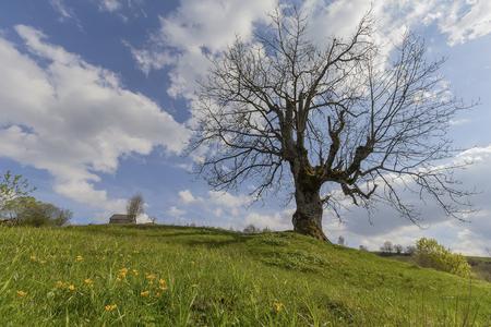 Bare tree in spring in a rustic landscape. Carpathians