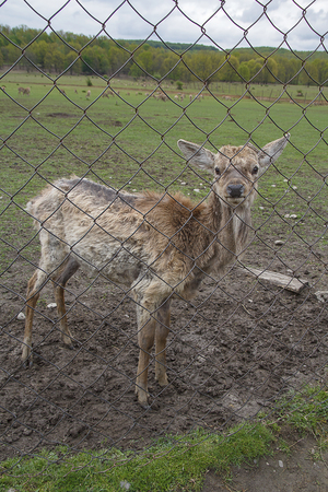 Young deer without horns behind the fence on a farm. Animals Stock Photo