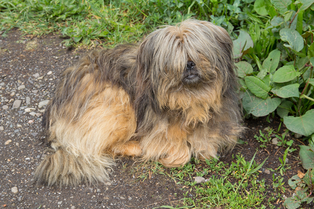 Shaggy homeless dog lies by the road. Pets Stock Photo