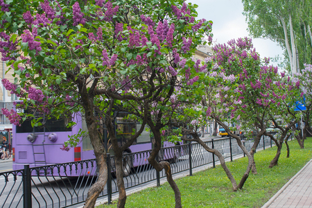 Blooming lilac on the central street of Donetsk. Ukraine Stock Photo