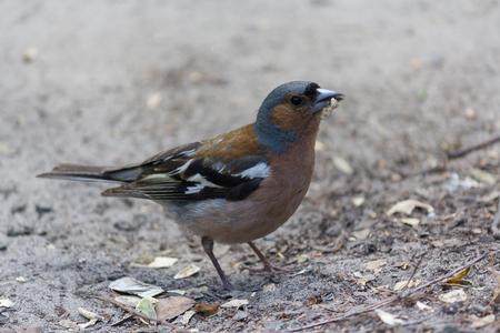 Chaffinch (Fringilla coelebs), who extracts food on the ground. Birds