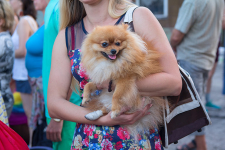 Spitz with a damaged paw on the hands of the mistress. Pets Stock Photo
