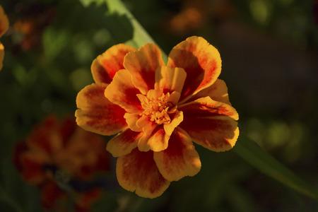 Orange marigold sunlit close-up. Flower