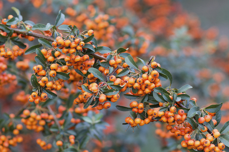 Orange sea-buckthorn berries on a branch in the garden. Nature Stock Photo