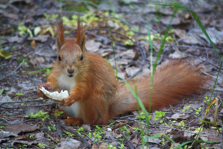 Red squirrel eats a treat in the park. Animals