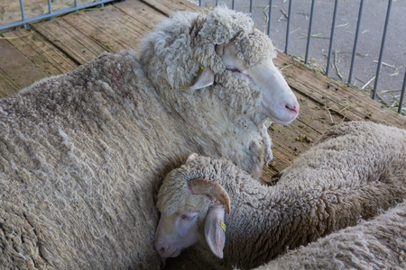 Sheep on the farm are lying on the floor of the barn. Agriculture