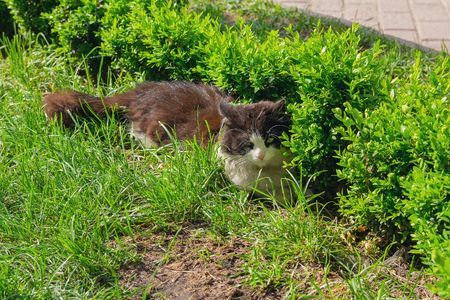 Cat hides from the sun on a city lawn. Pets 免版税图像
