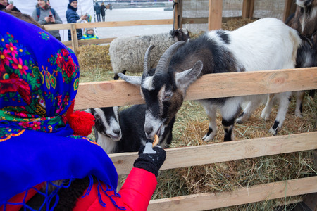 Girl in a traditional scarf swallows a goat in a contact zoo at a Christmas nativity