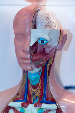 Human head model of anatomy at an exhibition. Medicine and obazovanie