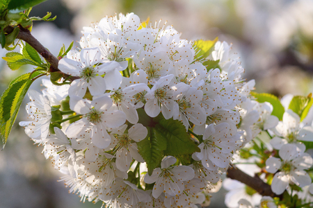 White flowers of a blossoming tree lit by the sun. Springtime Imagens