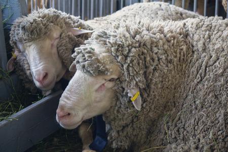 Las ovejas en la granja yacen en el suelo del granero. Agricultura