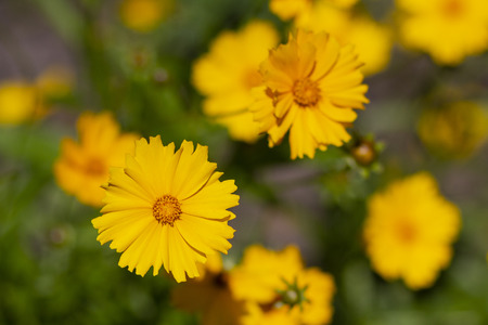 Beautiful yellow daisies in a meadow close up. Flowers 版權商用圖片