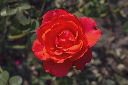 Beautiful red rose lit by the sun in the garden