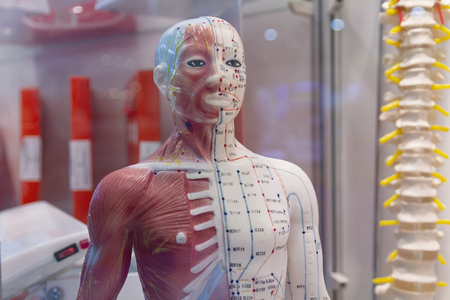 Dummy with the image internal a human organ for studying. Medicine, education